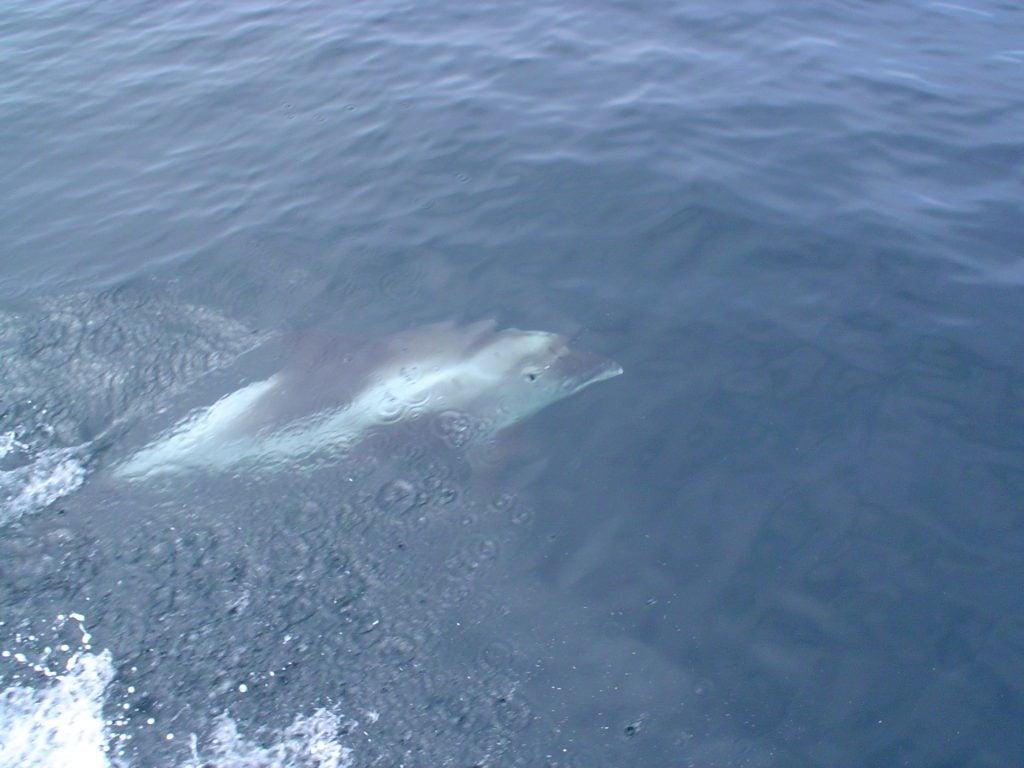 Witsnuitdolfijn in Noordzee