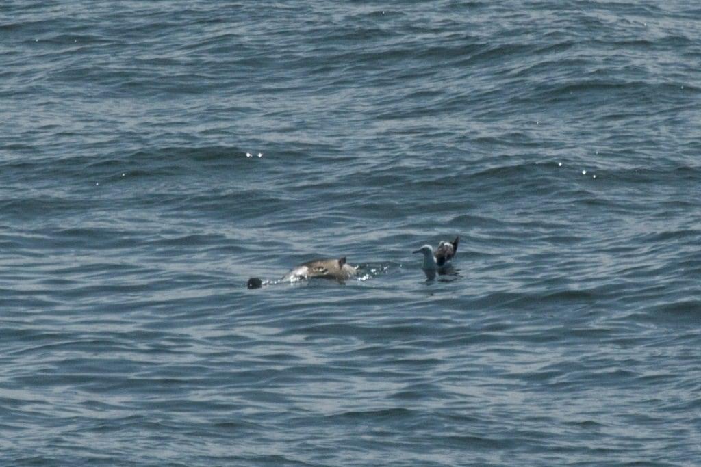Dode bruinvis vanaf Hollandica