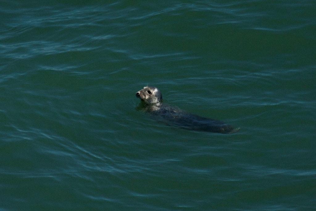 Grijze zeehond vanaf de Hollandica