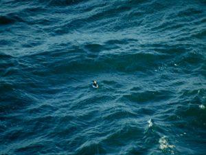 Een van de vele Zeekoeten die zich voor de boot uit de voeten moest maken