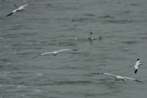 Gannets galore (foto: Ernst Schrijver)