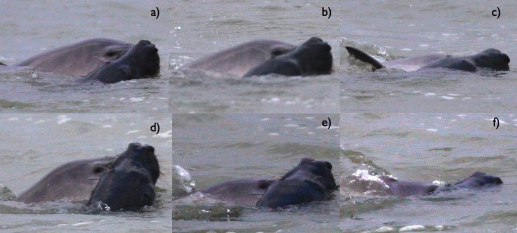 Grijze zeehond valt bruinvis aan. Foto: L. Scalabre - OCEAMM