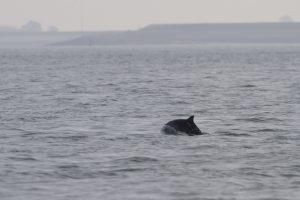 Eerste bruinvis in de Oosterschelde
