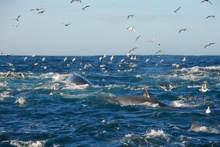 Sardine run in Algoa Bay (foto Raggy Charters)