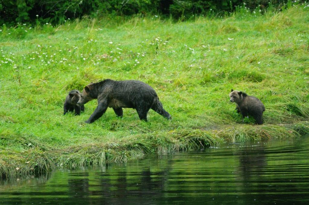 Grizzly's nabij Telegraph cove (foto: F. Zanderink)