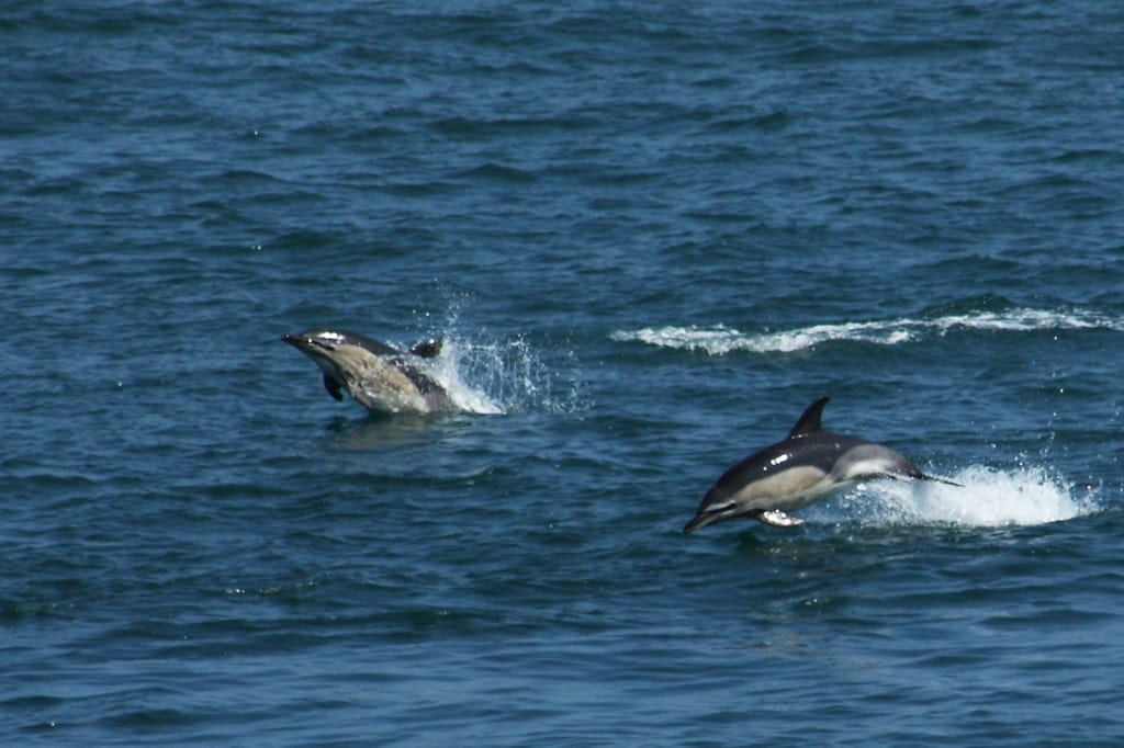 Gewone dolfijnen zijn vaak van de partij vanaf de veerboot. (E. Schrijver)