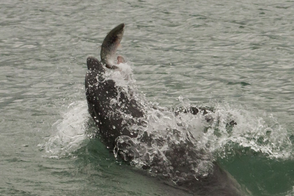 Een tuimelaar grijpt een harder op twee meter van de pier in New Quay. (E. Schrijver)