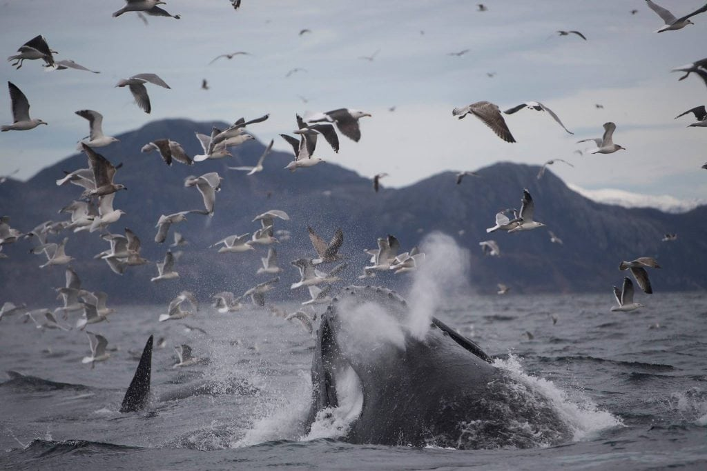 Bultrug bij Lofoten (Foto M. Bril Sea Safari Andenes)