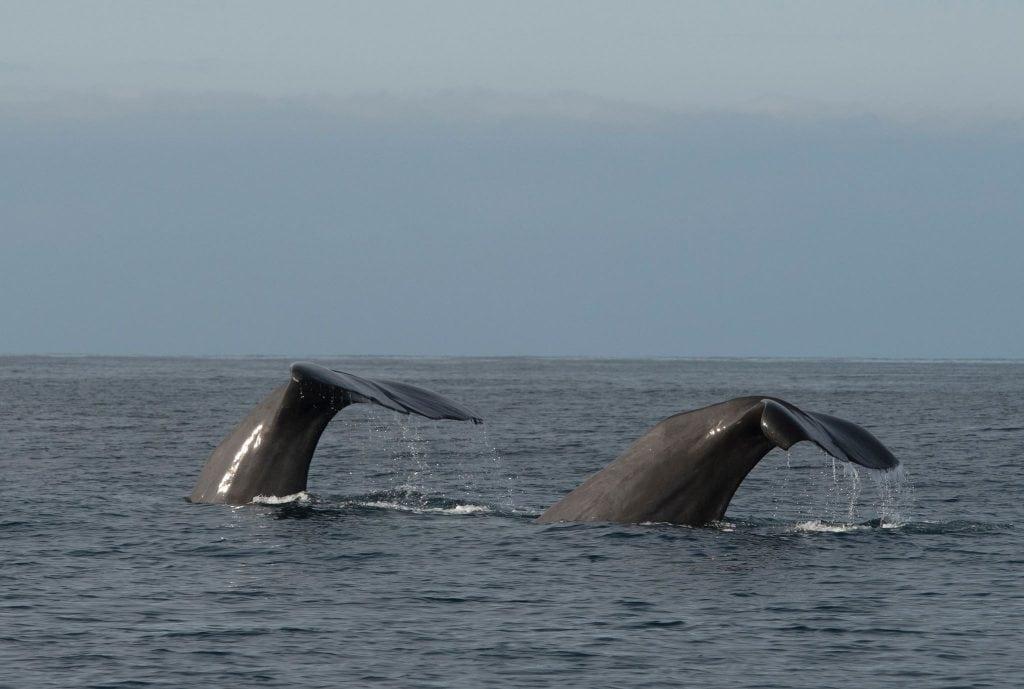 Potvissen nabij Andenes (Foto: M. van Dam)