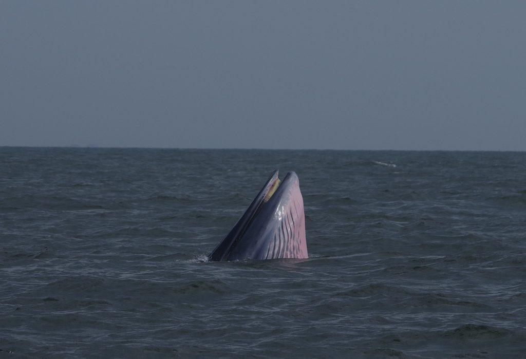 Brydes walvis foeragerend in Thaise golf (Foto F. Zanderink)
