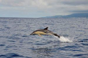 Gewone dolfijn met stukje zeewier aan vin zwemt en springt mee met de RIB