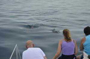 Groepje nieuwsgierige gewone dolfijnen nadert catamaran