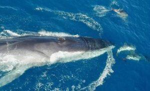 Gewone vinvis vergezeld door dolfijnen. (Foto Edmaktub)