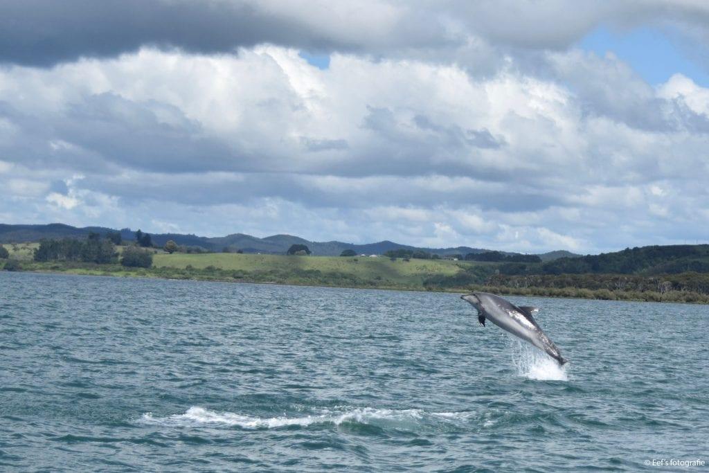 Tuimel;aar in Bay of Islands (Foto E. Sohier)