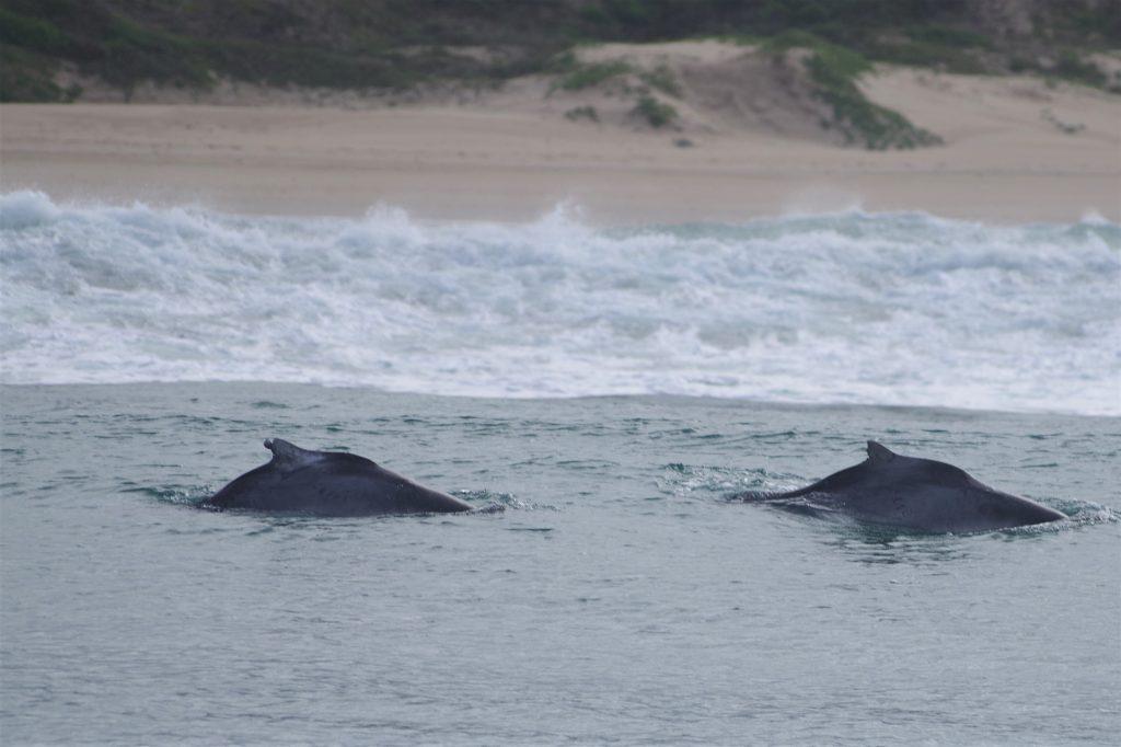 Twee bultrugdolfijnen, typisch voor deze soort de ondiepe kustwateren. (Foto F. Zanderink)