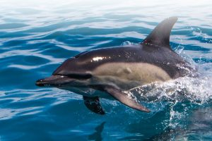 Gewone dolfijn (Foto: ORCA)