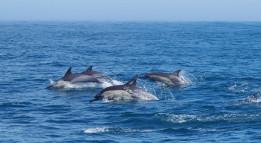 Gewone dolfijnen bij Algoa Bay