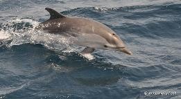 gestreepte_dolfijn