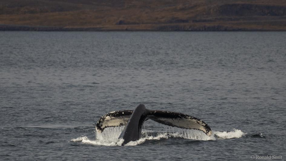 Bultrug vlak voor een duik bij tijdens een tocht vanuit Hólmavík