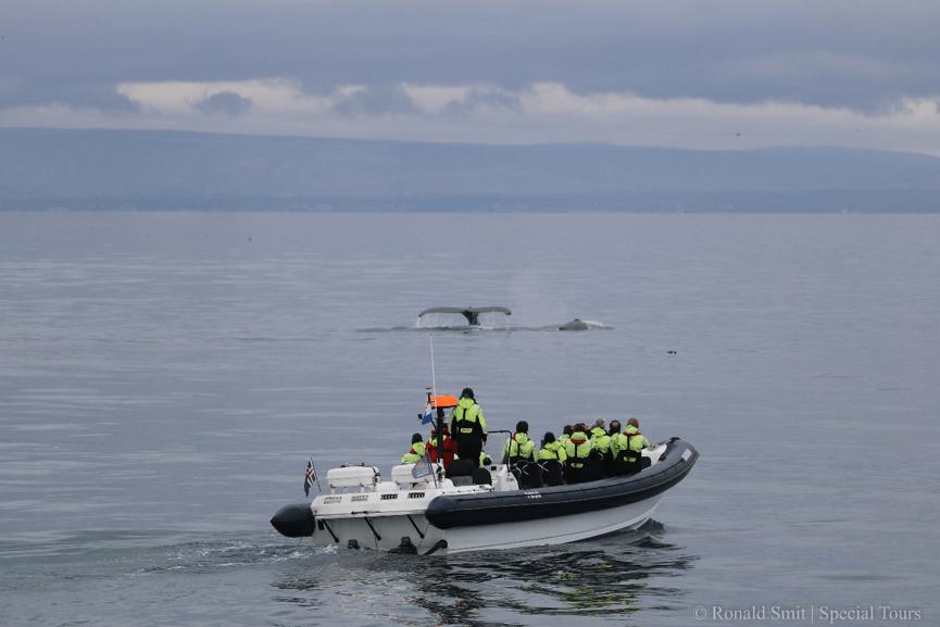 Passagiers op een RIB bekijken twee duikende bultruggen tijdens een tocht vanuit Reykjavík met Special Tours