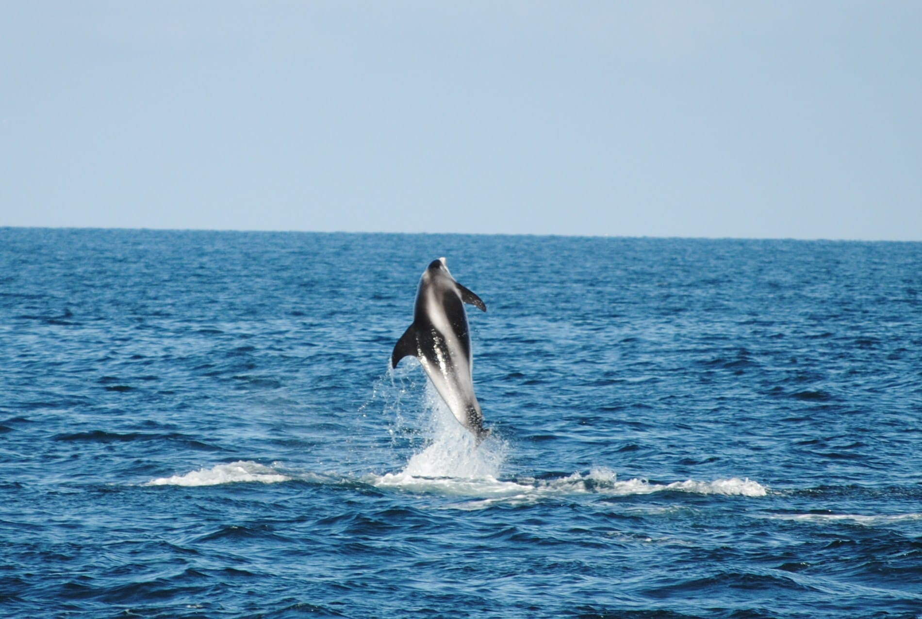 Witsnuitdolfijn jumping