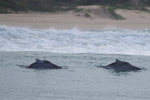 Bultrug dolfijnen